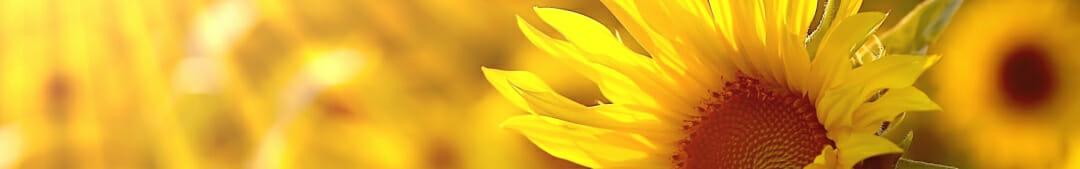 sunflower-love-Rajinder-meditation