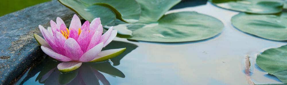 lotus in peaceful pond